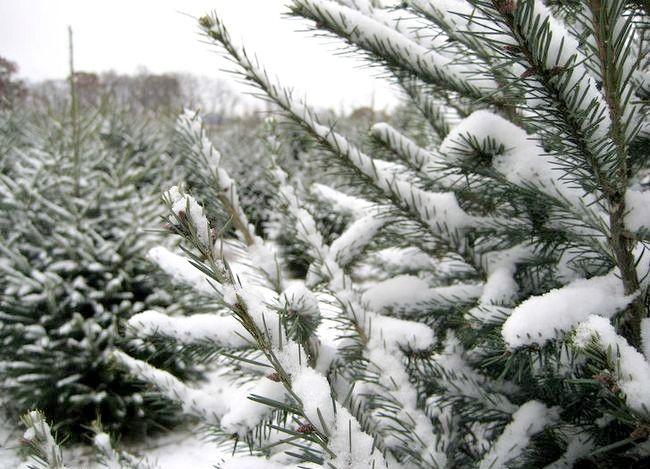Aveți grijă de un pom de Crăciun