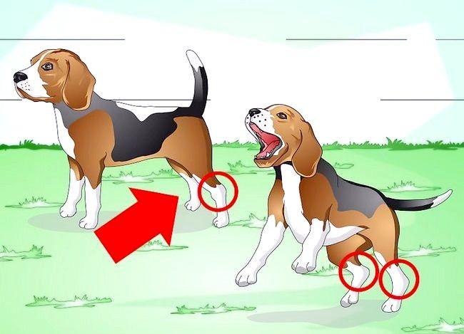 Image cu titlul Tratarea unei glezne împrăștiate pe un câine Pasul 1