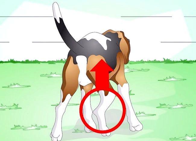 Image cu titlul Tratarea unei glezne împrăștiate pe un câine Pasul 3
