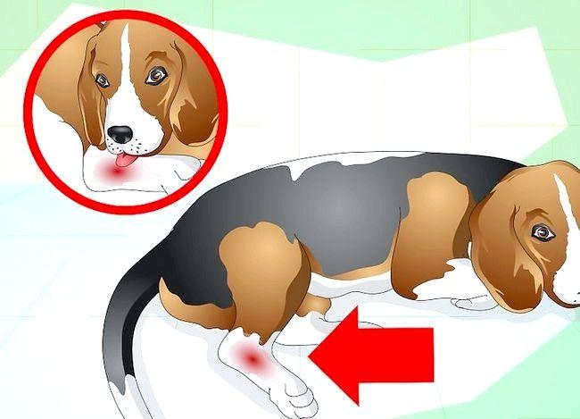 Image cu titlul Tratarea unei glezne împrăștiate pe un câine Pasul 4