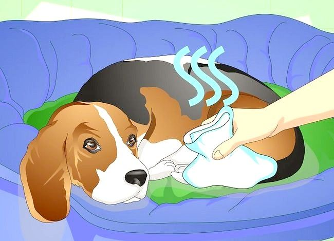 Imaginea intitulată Tratează o gleznă răsturnată pe un câine Pasul 7