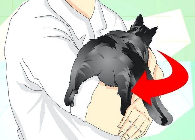 Vezi dacă o pisică este sterilizată