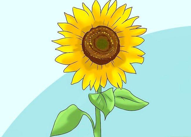 Cultivați floarea-soarelui