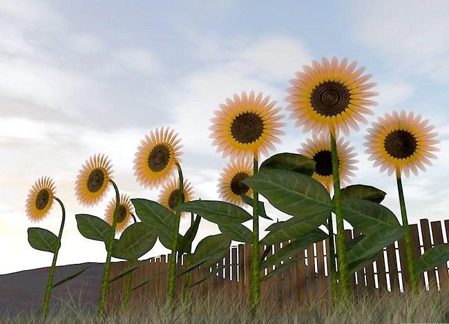 Recoltarea semințelor de floarea-soarelui